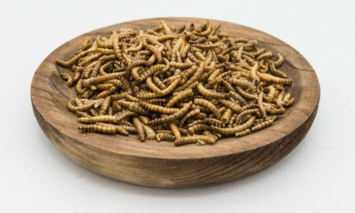 Meal worms in a bowl