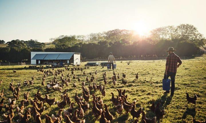 A farmer surveys a flock of free range chickens roaming an open field