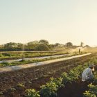 People harvesting vegetables in a field with many different crops