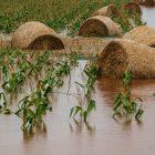 Hay bales sit in a flooded corn field