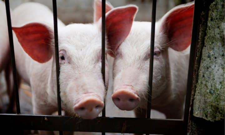 Two white pigs look through the bars of a gate